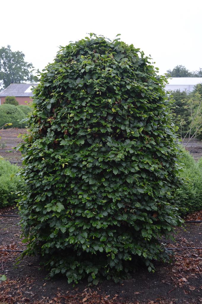 Fagus sylvatica (Beech) topiary beehive