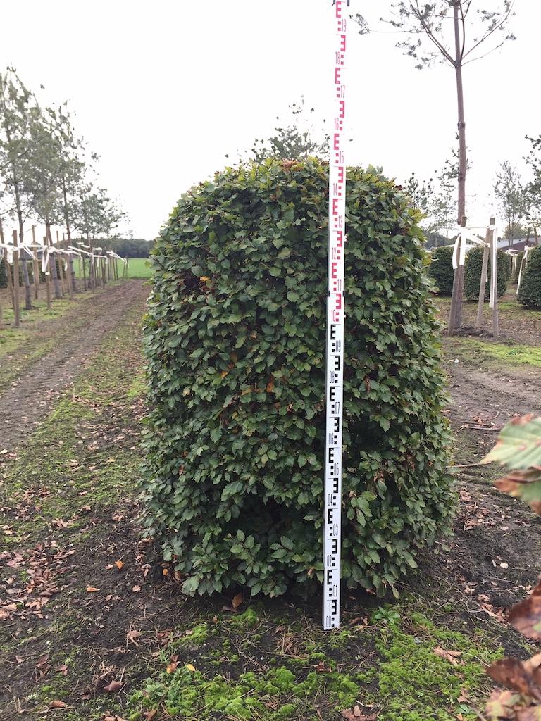 Fagus sylvatica Beehive H140-160cm