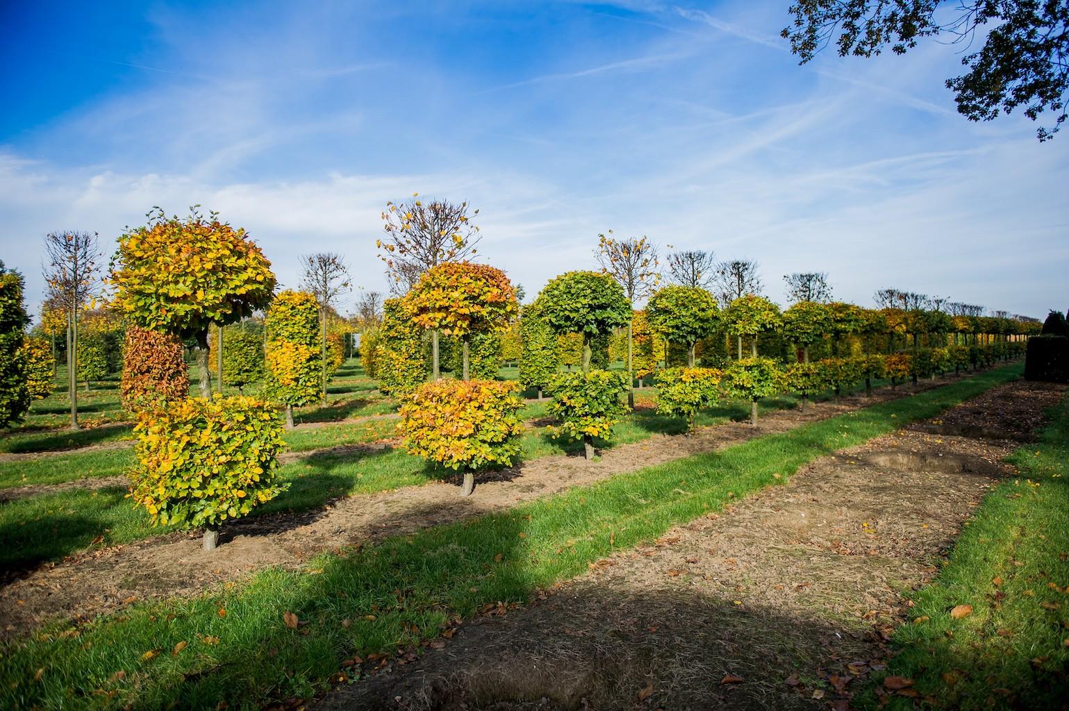 Fagus sylvatica bespoke topiary Beech specimens