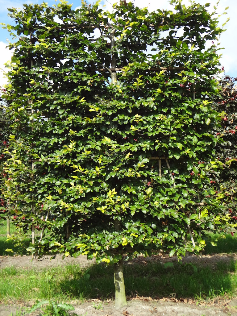 Fagus sylvatica (green Beech) low pleached screening trees 20-25 grade