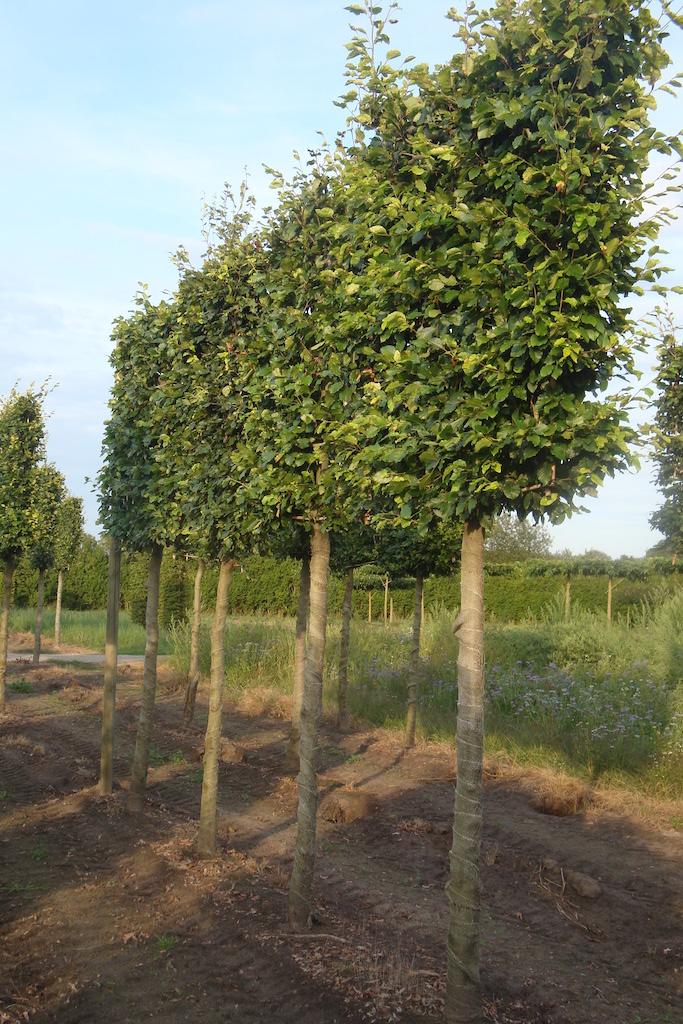 Fagus sylvatica (green Beech) pleached screening trees 25-30 grade