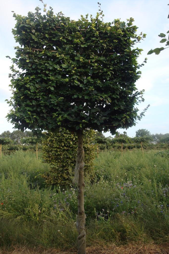 Fagus sylvatica (green Beech) pleached screens 20-25 grade