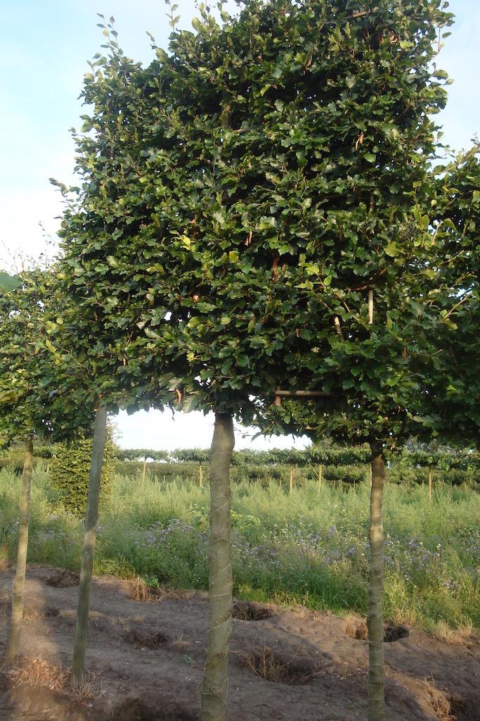 Fagus sylvatica (green Beech) pleached tree 25-30 grade
