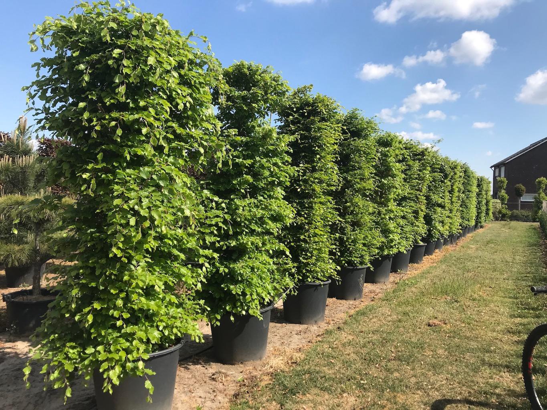 Fagus sylvatica instant hedge plants 200cm x 60cm x 40cm in C110 (2)