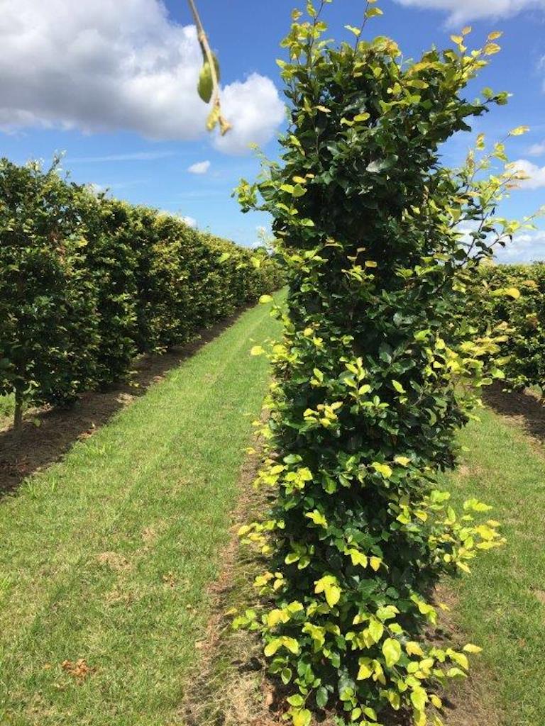 Fagus sylvatica instant hedging 200cm x 50cm x 50cm(1)