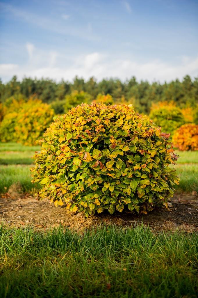 Fagus sylvatica topiary Beech ball