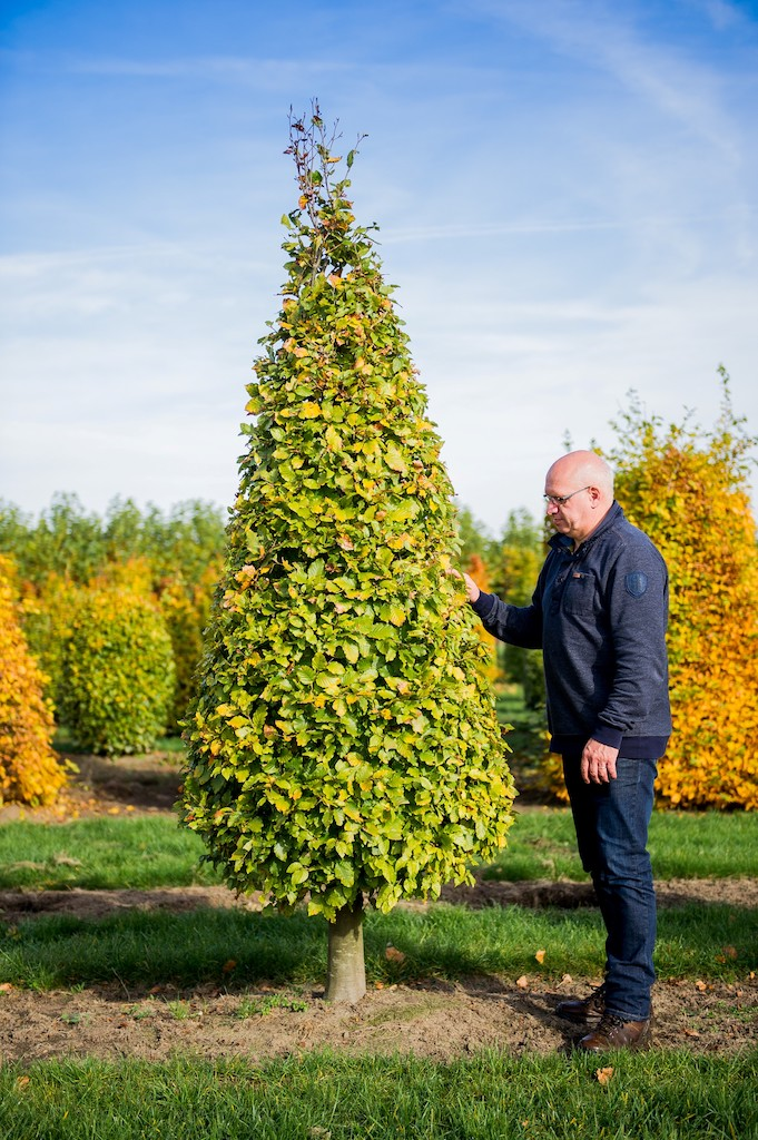Fagus sylvatica topiary Beech cone with clear stem
