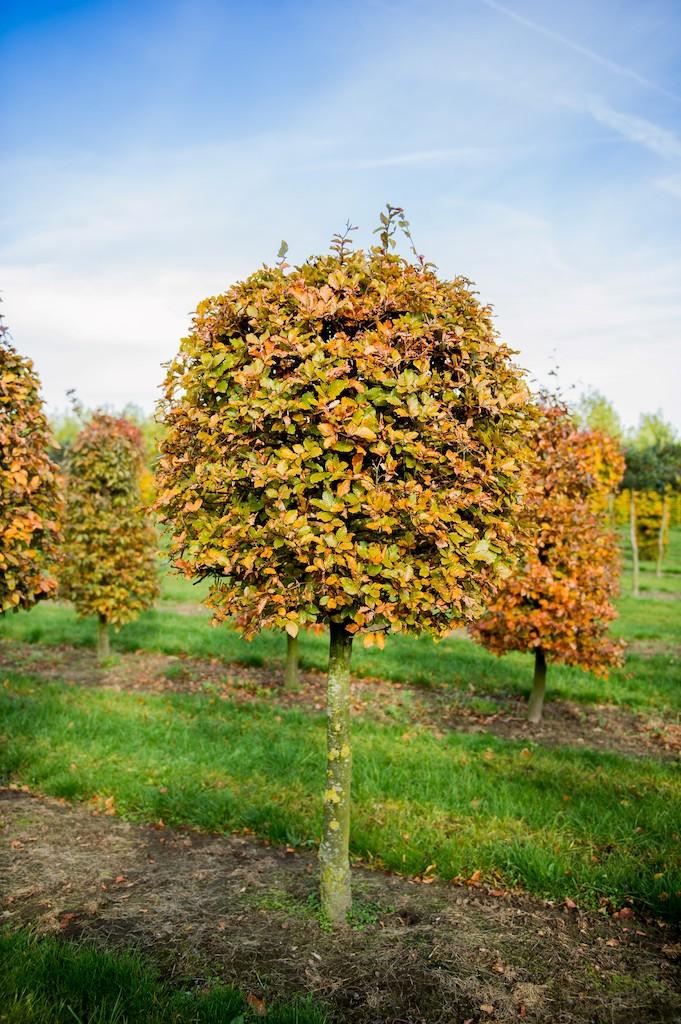 Fagus sylvatica topiary Beech standard (ball on stem)