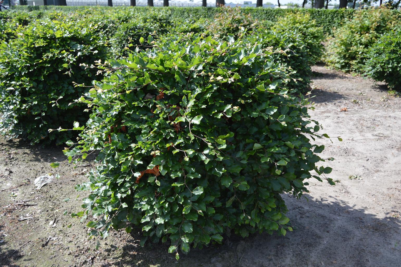 Fagus sylvatica topiary ball