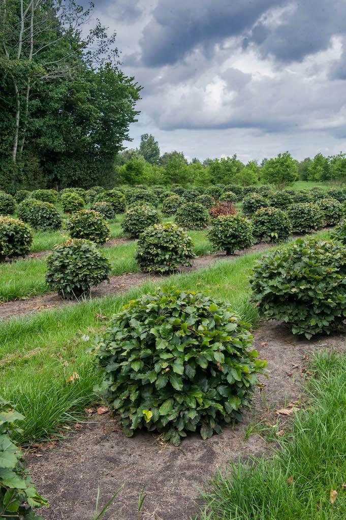 Fagus sylvatica topiary balls