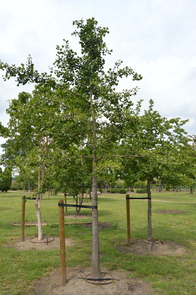Gingko biloba specimen tree
