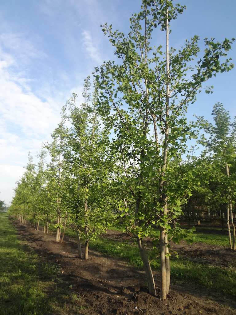 Ginkgo biloba (Maidenhair tree) multi-stems