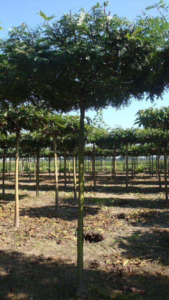 Gleditsia triacanthos 'Inermis' roof form tree 18-20
