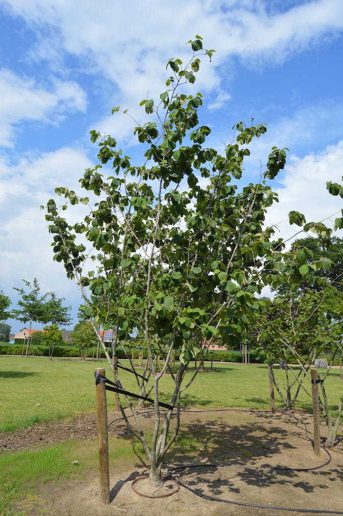 Hamamelis 'Arnold Promise' (Witch Hazel) multi-stem specimen plant (2)