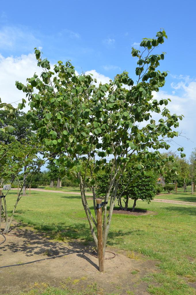 Hamamelis 'Arnold Promise' (Witch Hazel) multi-stem specimen plant (3)