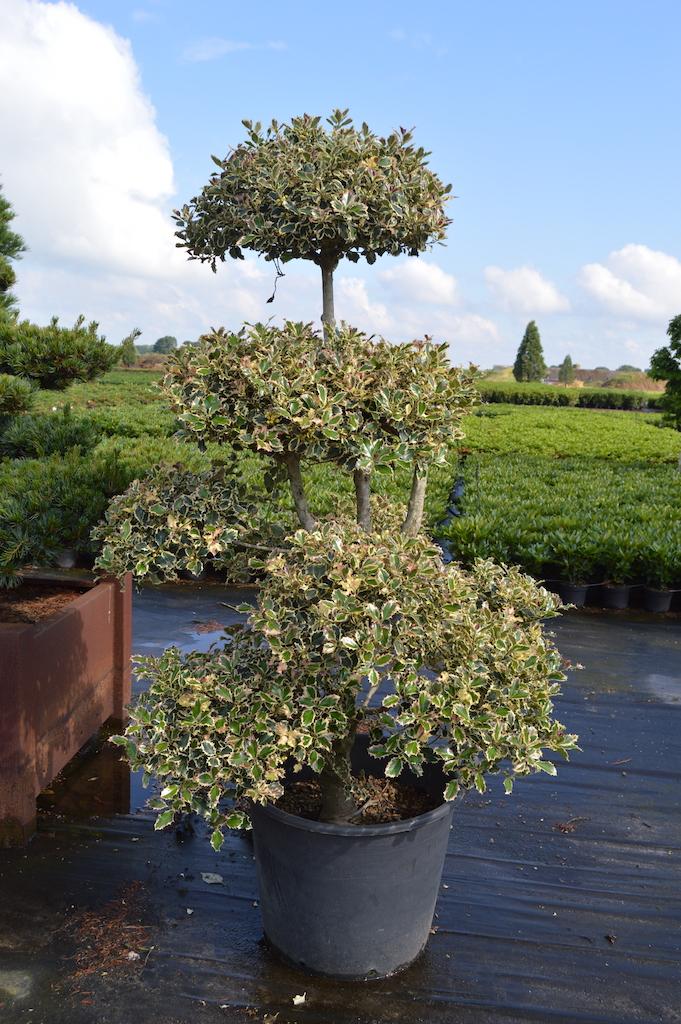 Ilex 'Argentea Marginata' cloud pruned Holly tree