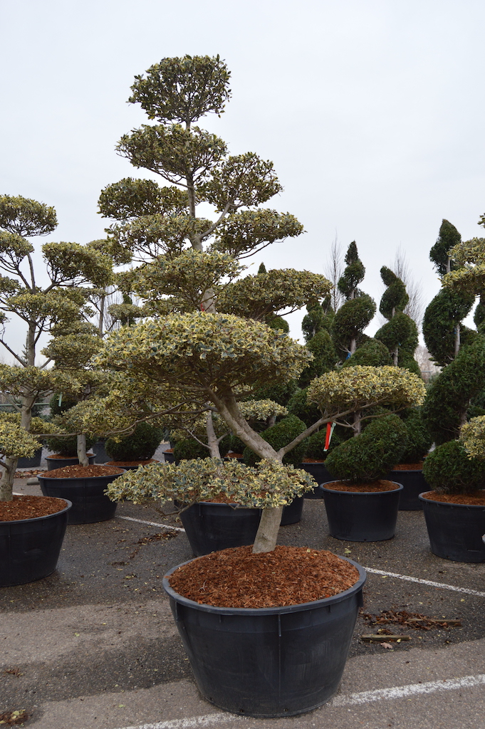 Ilex aquifolium 'Ferox Argentea' cloud pruned Holly tree