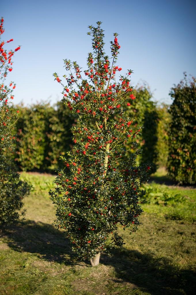 Ilex aquifolium (Holly) hedge plant