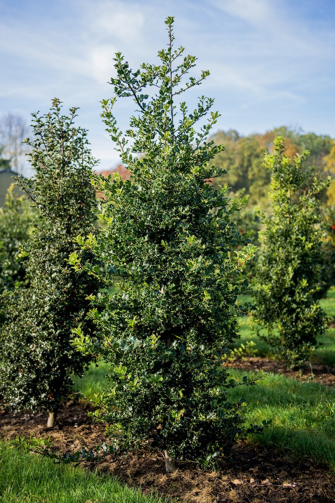 Ilex aquifolium (Holly) hedge plants