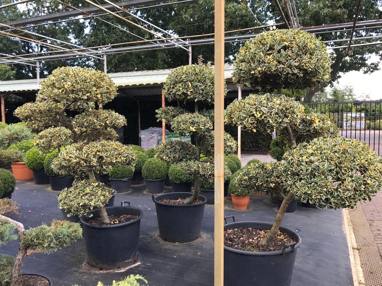 Ilex aquifolium 'Silver Queen' cloud pruned 160-170cm