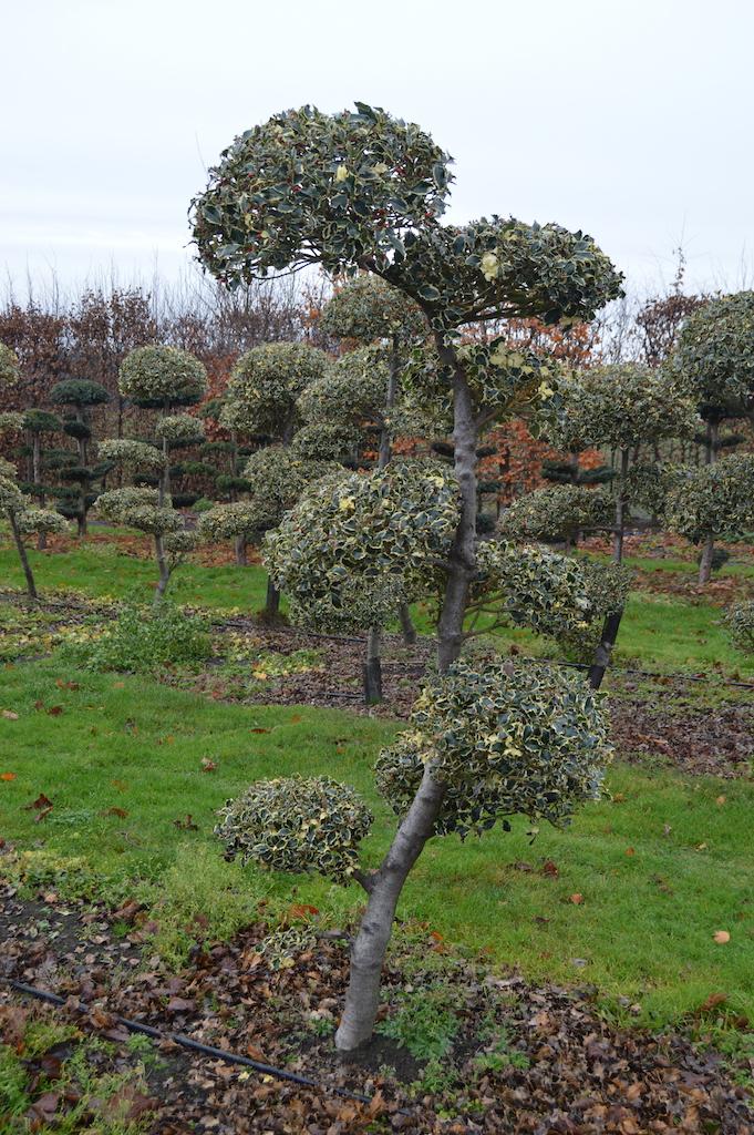 Ilex aquifolium 'Silver Queen' cloud pruned variegated Holly (1)