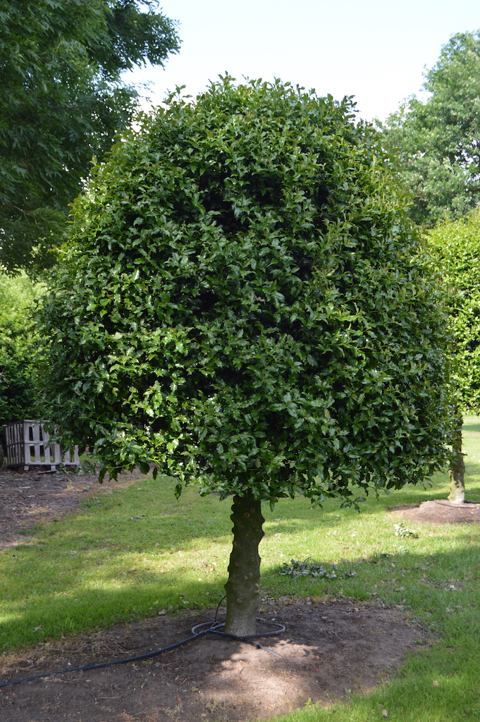 Ilex aquifolium (common Holly) half standard
