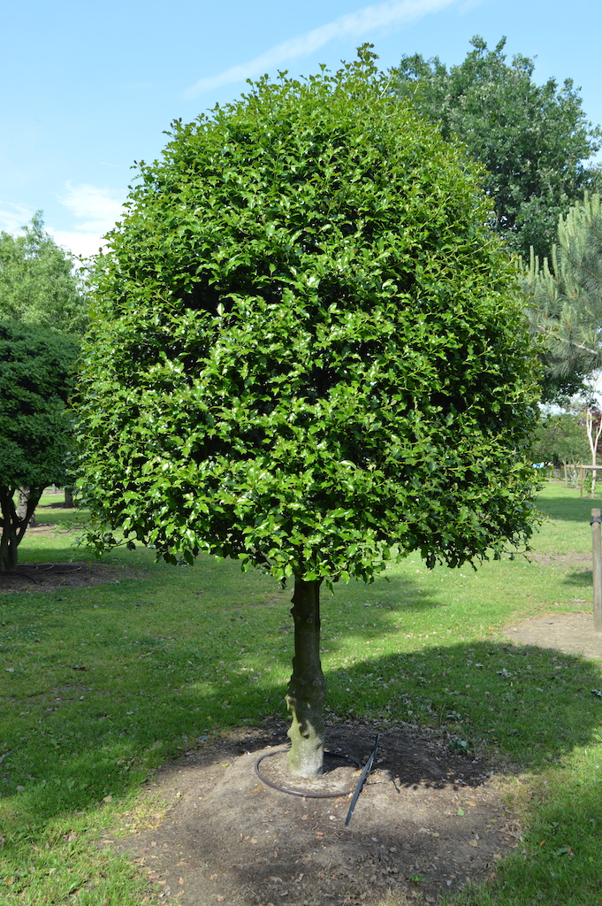 Ilex aquifolium (common Holly) topiary half standard