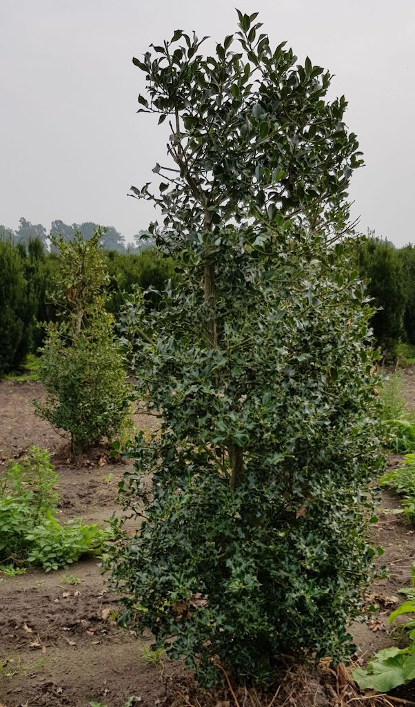 Ilex aquifolium hedge plant 200-225cm