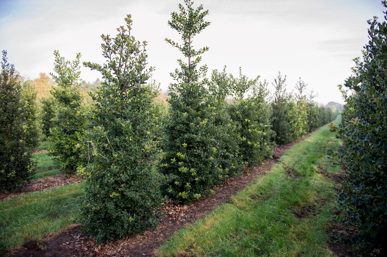 Ilex aquifolium hedge plants