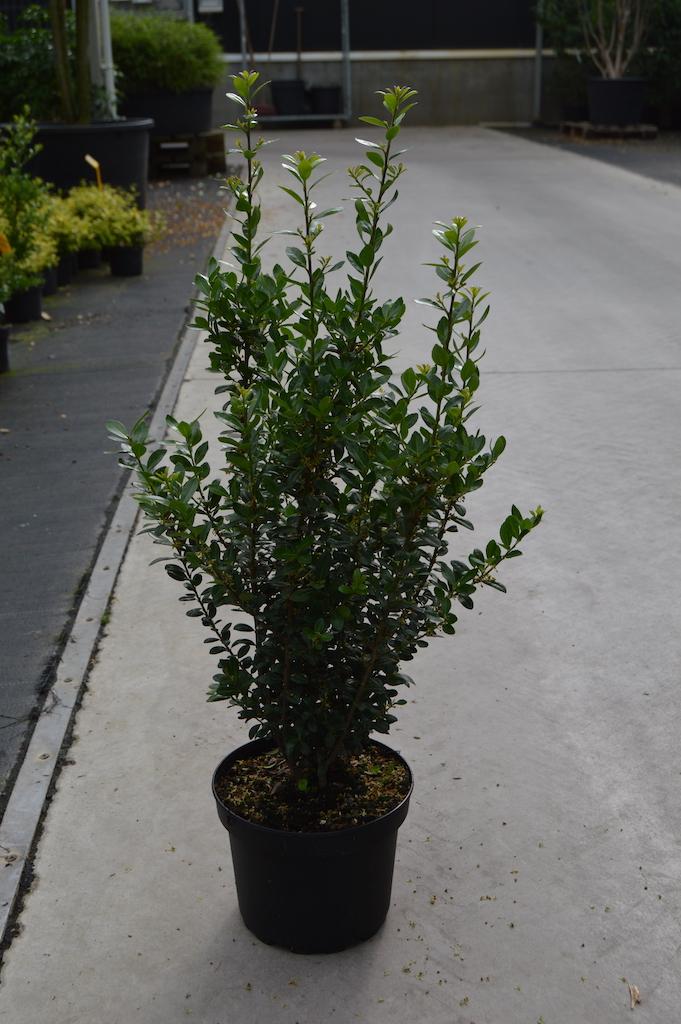 Ilex crenata 'Caroline's Upright' hedge plants 30-40cm in pot