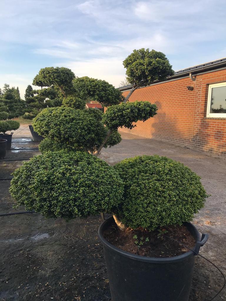 Ilex crenata 'Convexa' 120-130cm cloud pruned tree