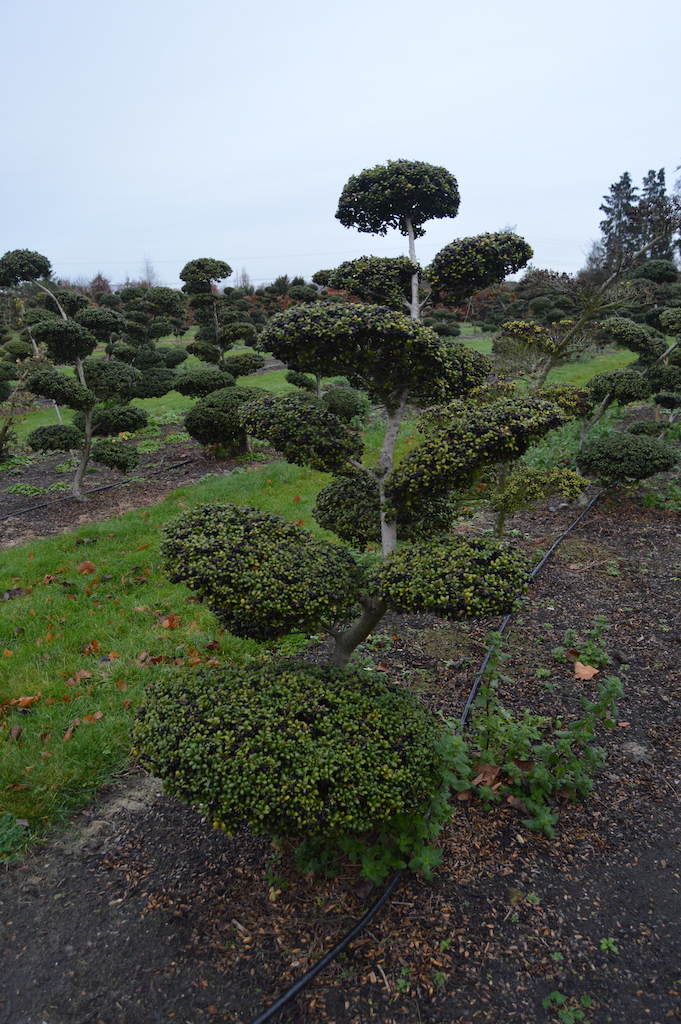 Ilex crenata 'Convexa' cloud pruned tree 150-175cm