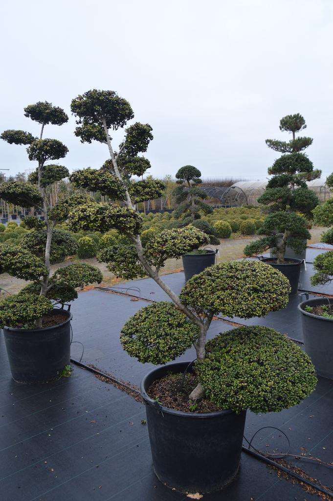 Ilex crenata 'Convexa' cloud pruned tree in container