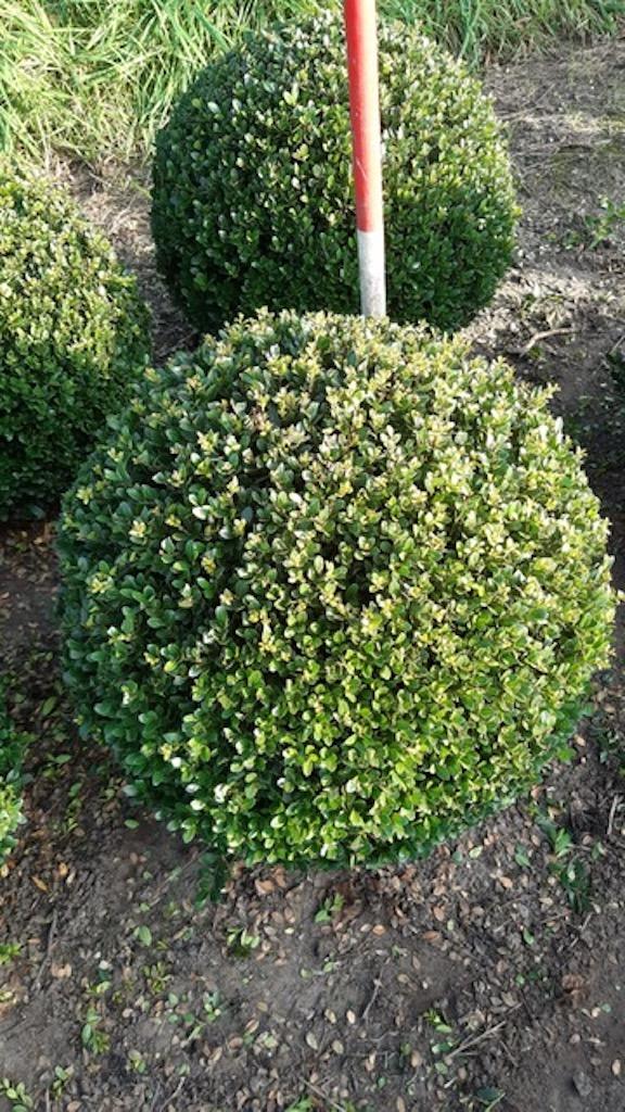 Ilex crenata 'Dark Green' topiary ball 50cm (1)