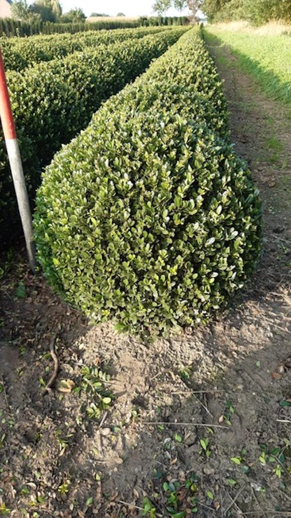 Ilex crenata 'Dark Green' topiary ball 50cm (2)