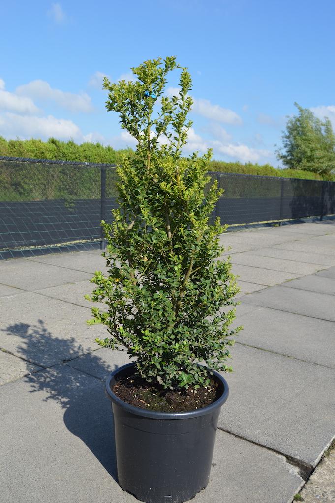 Ilex crenata 'Green Hedge' 80-100cm in container