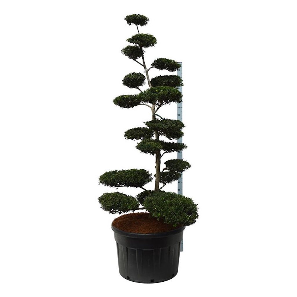 Ilex crenata 'Green Hedge' cloud pruned 200-225cm