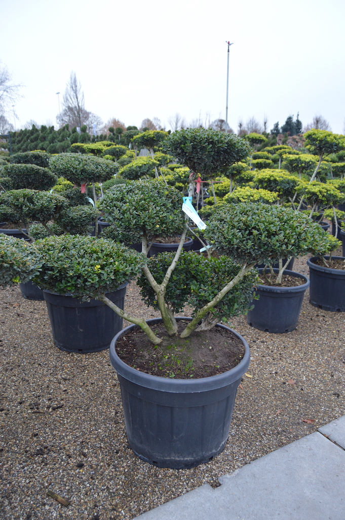 Ilex crenata 'Green Hedge' cloud pruned 60-80cm