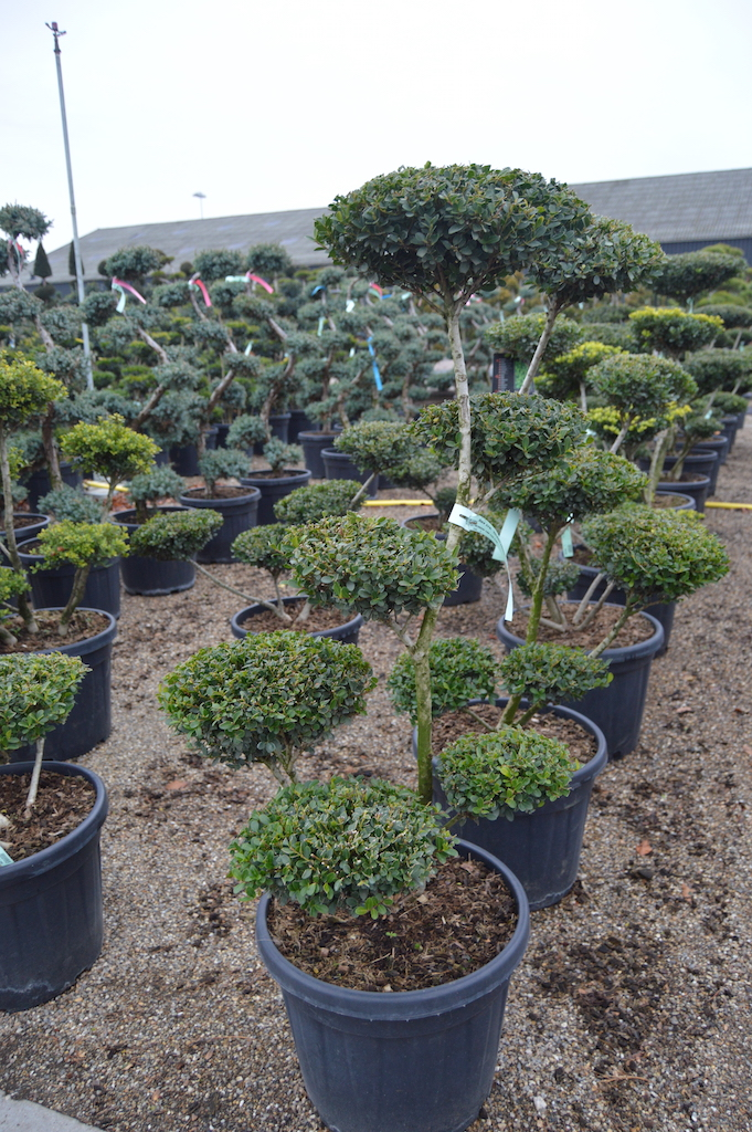 Ilex crenata 'Green Hedge' cloud pruned tree 100-125cm