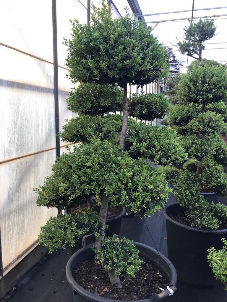 Ilex crenata 'Kinme' 120-130cm (Japanese import)