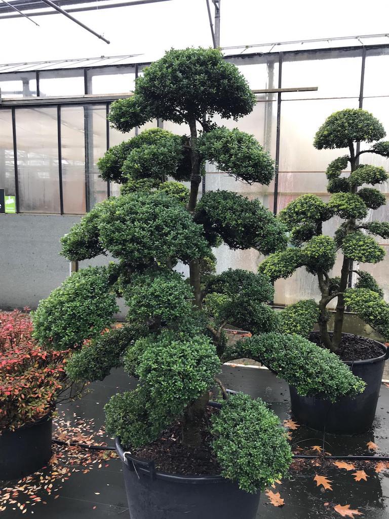 Ilex crenata 'Kinme' 150-160cm (Japanese import)