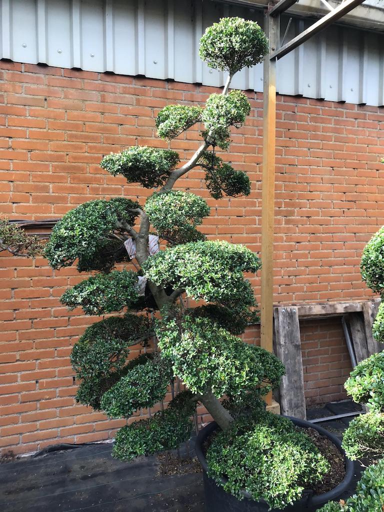 Ilex crenata 'Kinme' 180-190cm (Japanese import)