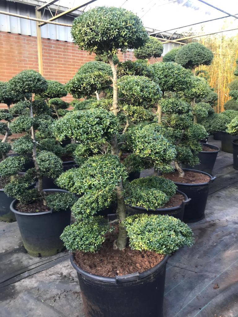 Ilex crenata 'Kinme' cloud pruned 120cm (Japanese import)