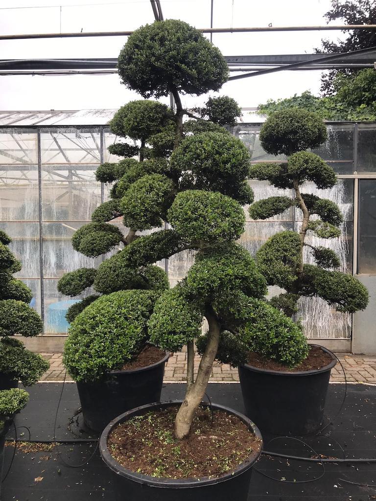 Ilex crenata 'Kinme' cloud pruned 200-225cm (Japanese import)
