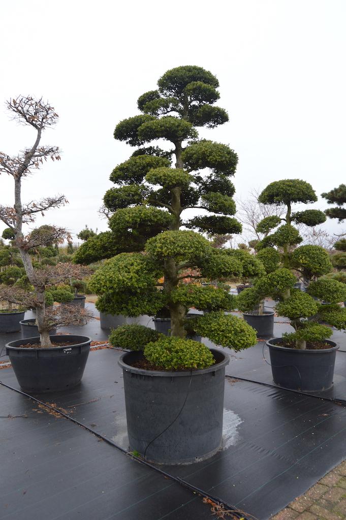 Ilex crenata 'Kinme' cloud pruned specimen tree in container