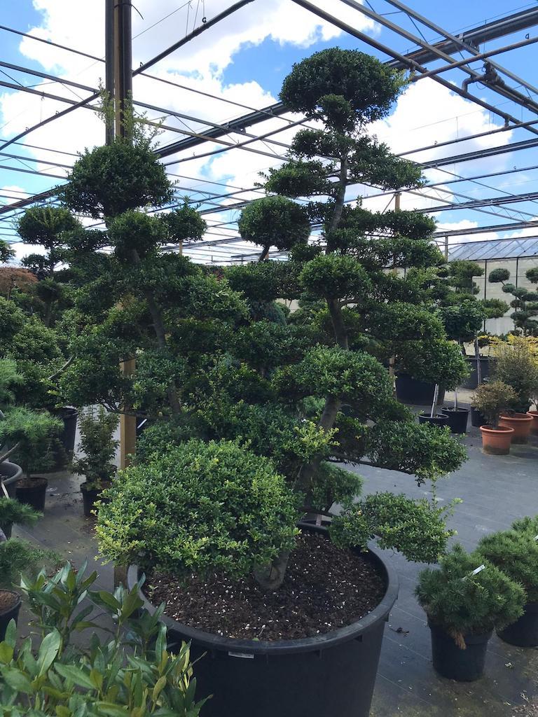 Ilex crenata 'Kinme' double stem cloud pruned 190-200cm