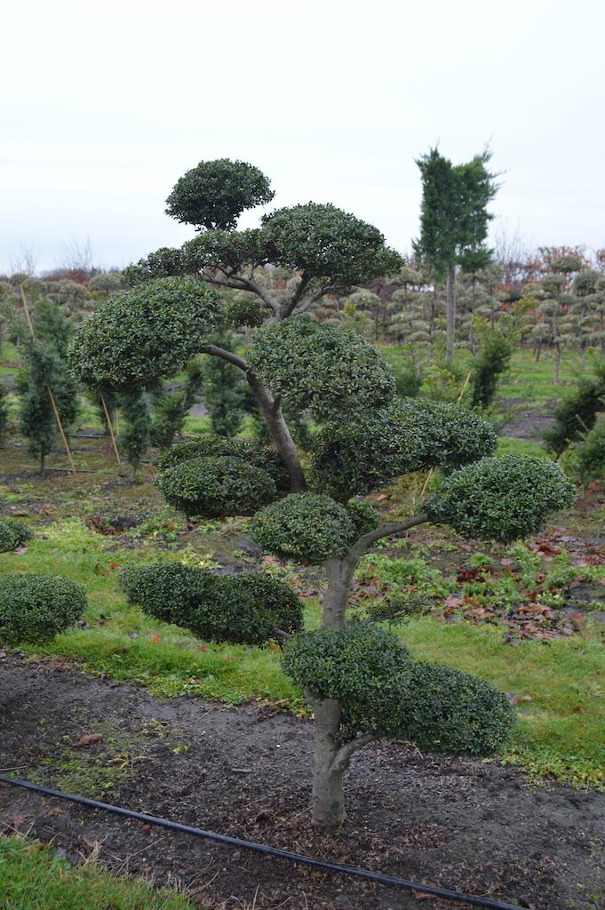 Ilex crenata cloud pruned tree (Japanese Holly)