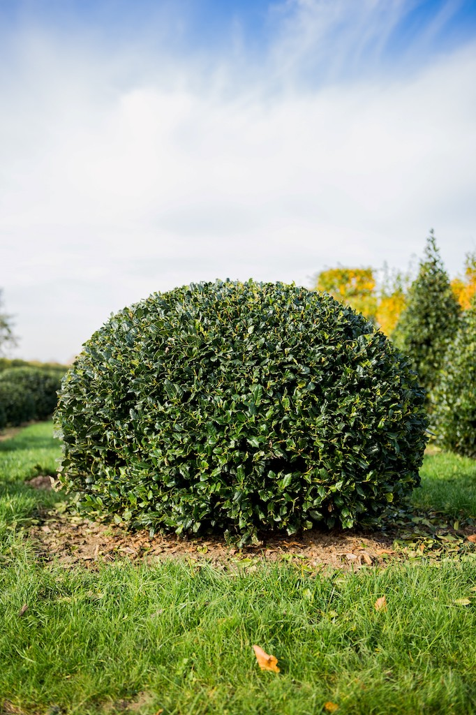 Ilex meservae topiary Holly ball
