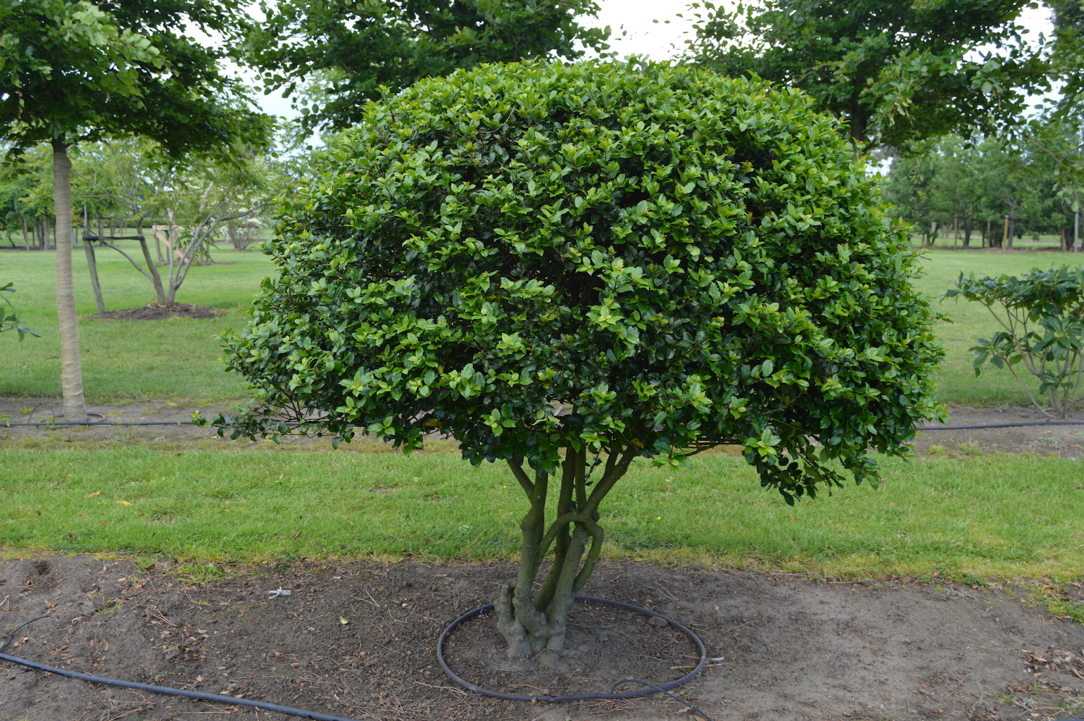Ilex meserveae 'Blue Prince' (Blue Holly) multi-stem balls (1)