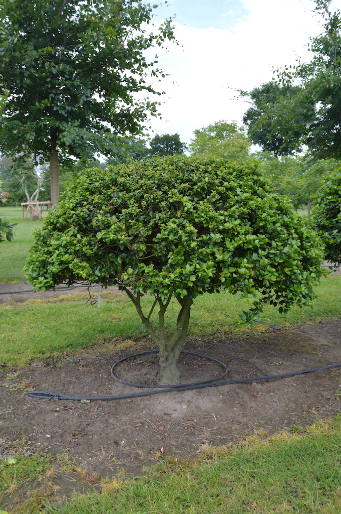 Ilex meserveae 'Blue Prince' (Blue Holly) multi-stem balls (2)